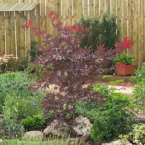 Ahorn palmatum