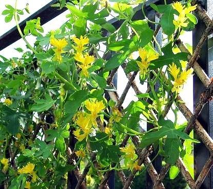 Kanarischen Creeper, Kanarienvogel Vine Samen - Tropaeolum Andorn