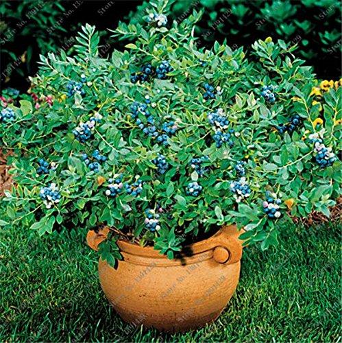 50pcs / sac bleu américain nain graines de bleuets comestibles graines de fruits en pot Bonsaï pour jardin et balcon