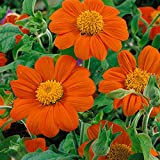 Outsidepride Orange Mexican Sunflower Plant Flower Seed - 1000 Seeds