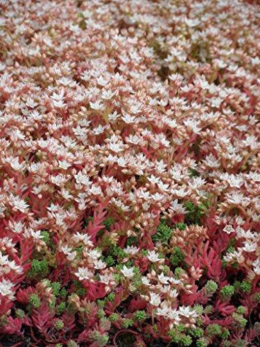 Sedum hispanicum, 50 Pflanzen im 5/6 cm Topf