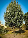 Pixies Gardens Bartlett Pear Tree Shrub Live Fruit Plant for Planting - Large Fruits - Yellowish Brown in Color White Flesh