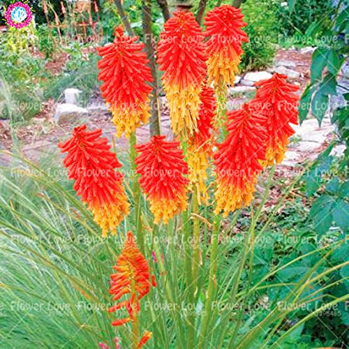 50Pcs Poker (Kniphofia uvaria) Graines Bonsai Lily Belle flamme Graines vivaces en pot familiale Jardin Belle décoration Flowe 9