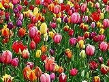 Tulpen Zwiebeln (50 Stück)- Blumenzwiebeln bunte Frühlings Mischung - Grösse 10/11 - mehrjährig - winterhart - SAISONWARE - NUR KURZE ZEIT ERHÄLTLICH