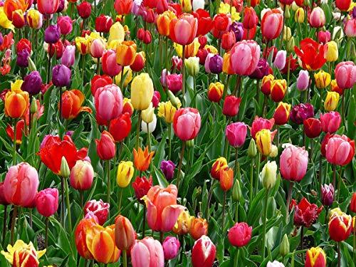 Tulpen Zwiebeln (25 Stück) - Blumenzwiebeln bunte Frühlings Mischung - Grösse 10/11 - mehrjährig - winterhart - SAISONWARE - NUR KURZE ZEIT ERHÄLTLICH