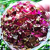 Alternanthera Reineckii Rosanervig Red Live Aquarium Plants in Tissue Culture Cup No Pesticide 100% Pest Snail and Algae Free by Greenpro
