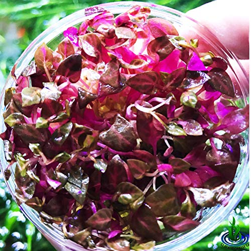 Greenpro Alternanthera Reineckii Rosanervig Red Live Aquarium Plants in Tissue Culture Cup No Pesticide 100% Pest Snail and Algae Free