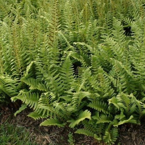 Christmas Fern 10 Rhizome/Root (Polystichum acrostichoides)