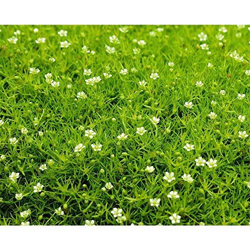 Sagina 'Scottish Moos', hellgrün - Sternmoos winterhart, im Topf 12 cm, in Gärtnerqualität von Blumen Eber - 12 cm
