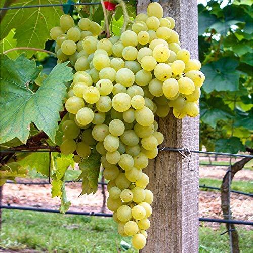 Xianjia Garten - 50pcs Rarität Aromatisch Weinrebe Kernlos Reichtragend zuckersüß wohlschmeckend,...