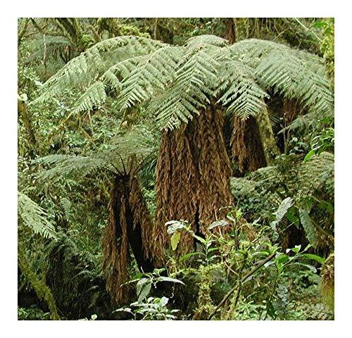 Dicksonia sellowiana - fougère arborescente - 10 graines