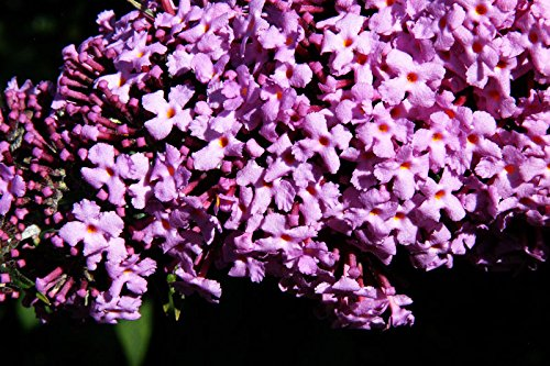 Sommerflieder Schmetterlingsflieder rosa Blüte Sommerflieder Pink Delight Buddleja davidii Pink Delight Containerware 40-60 cm hoch