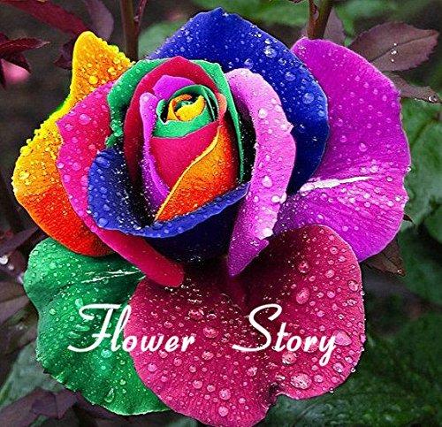 Graines Mystic Hollande Rainbow Rose Bush Flower 200 graines Stratisfied bricolage jardin Fleur exotique Livraison gratuite