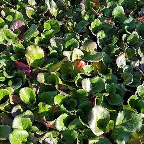 Bergenia cordifolia 'Rotblum' - Garten-Bergenie 'Rotblum' - 9cm Topf