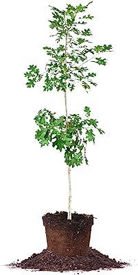 Nuttall Oak - Size: 4-5 ft, Live Plant, Includes Special Blend Fertilizer & Planting Guide