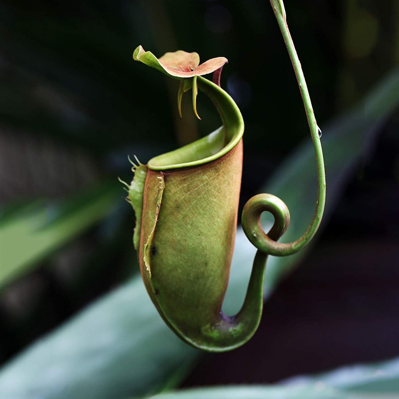 tropisch Samen f/ür Zuhause 50 St/ück//Beutel Nepenthes-Samen dekorativ fleischfressende Pflanzen rosa Nepenthes-Samen mit Beutel Steelwingsf Samen f/ür Haus und Garten