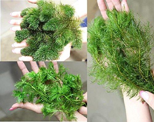 Unterwasserpflanzen Sortiment 100 Pflanzen Wasserfeder Teichpflanzen Teichpflanze Teich