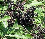 Adams Elderberry Perennial Shrub - Sambucus - 3.25' Pot