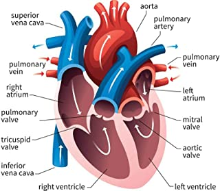 Human Heart Circulatory System Diagram Chart Laminated Dry Erase Sign Poster 36x24