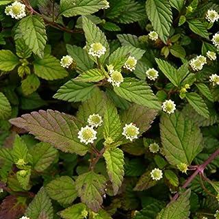 Aztec Sweet Herb Seeds (Lippia dulcis) 50+ Organic Heirloom