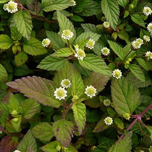 Aztec Sweet Herb Seeds (Lippia dulcis) 50+ Organic Heirloom Herb Seeds