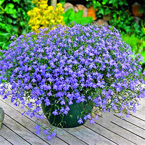XINDUO Fragrant Seeds Blooms,Four seasons easy to plant orchid linseed flower seeds-0.5kg,Grass Seeds Gardening Yard Outdoor