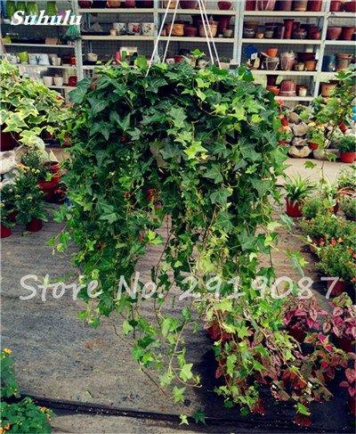 Pearl Chlorophytum Seeds 100 Pcs Hanging type de pot Chlorophytum Plantes fleuries Accueil Intérieur air frais Jardin résistant au froid 1
