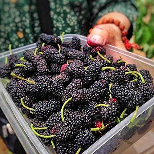 Portal Cool Kaufen, 3 2 Kostenlose Pre-Stratifizierte Jumbo Thornless Blackberry Seeds 100Pcs