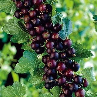 Jostaberry Bush - Cross Between Gooseberry & Black Currant - Sweet - 2.5