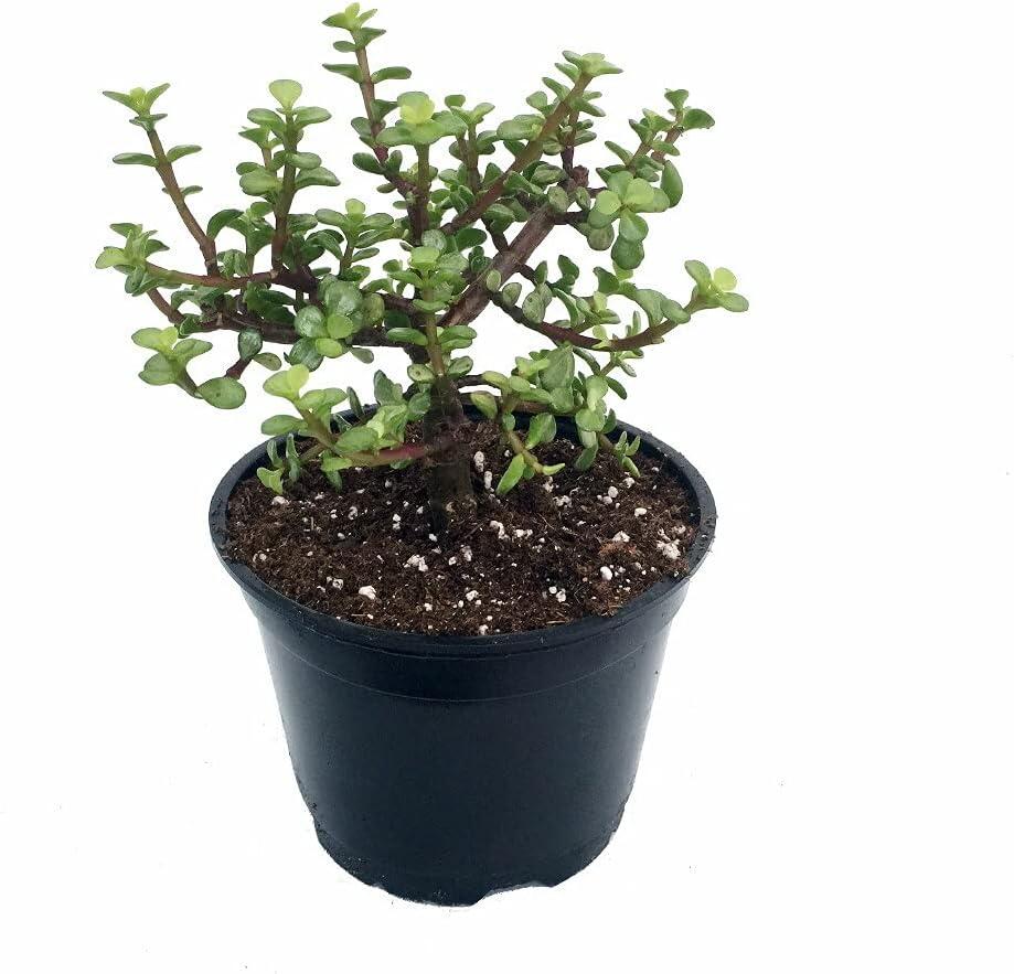 Succulent Fashion Plant Spekboom Cream Jade Green Online limited product Mini Portulaca