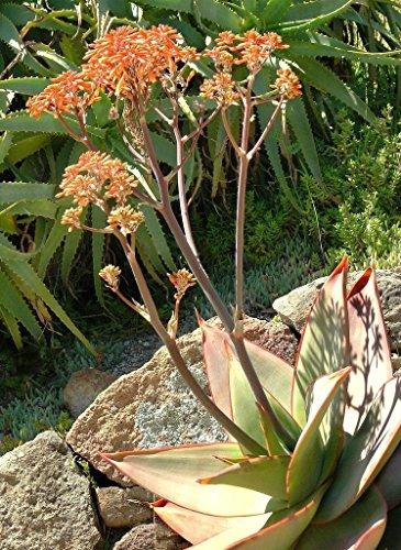 Heirloom 10 Graines Aloe striée Corail Jardin Exotique Succulent Graine Rare Cacti désert plante
