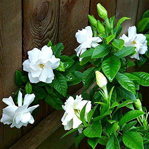 Plantes grimpantes Jasmine Flower Seed blanc jasmin Graines vivaces plantes odoriférantes Bonsai Pour jardin Arbre SEMENTES 20pcs / sac transparent