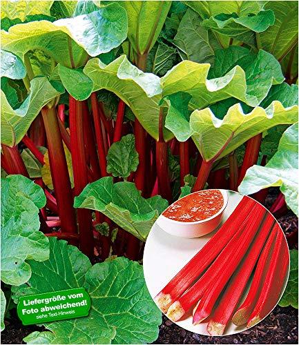 BALDUR Garten Immertragende Rhabarber Pflanze Livingstone immertragend, 1 Pflanze Rhabarberstaude winterhart