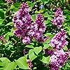 150 個ライラック種子ユニークな本質的な美しい花エレガントな色は、友人の親戚の表現の賛辞の無罪を表します