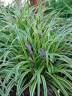 Perennial Farm Marketplace Liriope m. 'Variegata' ((Variegated Lilyturf) Ornamental Grass, 4