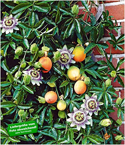 BALDUR-Garten Maracuja-Pflanze, 3 Pflanzen Passiflora edulis Passionsblume Passionsfrucht