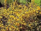 Tree Seeds Online - Berberis Julianae - Berberitze 25 Samen - 10 Packungen