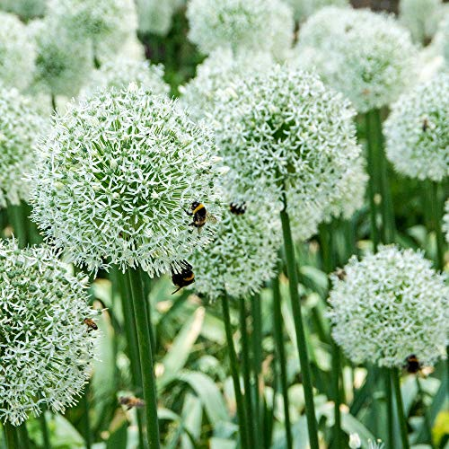 "10x Allium stipitatum""Mount Everest"" 