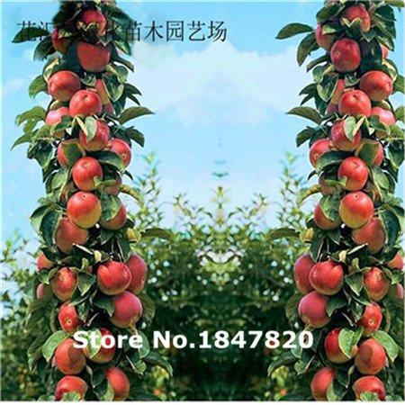 Bonsai Pomme Graines Arbre 50 pcs pépins de pomme fruit jardin de bonsaïs dans des pots de fleurs jardinières