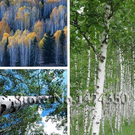 Plentree Samen Paket: DIY Hausgarten 30 Bonsai Weeping Birch Birke Betula pendula Baum Bonsai-freies Verschiffen