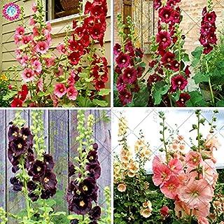 Las semillas 100pcs Malva (Alcea Rosea 'Nigra') mezclado semillas de flor color perenne planta para el jardín de embelleci...