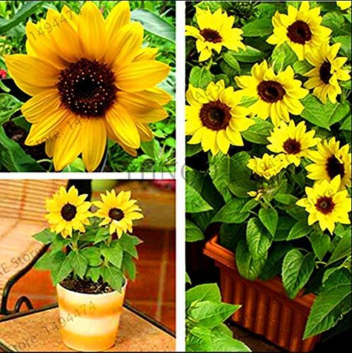 Bloom Green Co. Gran promoción!Flores de Girasol enanas, Plantas de Flores Ornamentales, Plantas en Maceta Bonsai Helianthus Annuus Plante para jardín Balcon: Mix
