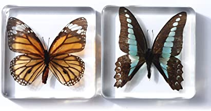 Real Butterfly Biological Model Holiday Real Butterfly Specimen Framed Gifts 0409 BDW Butterfly Specimen