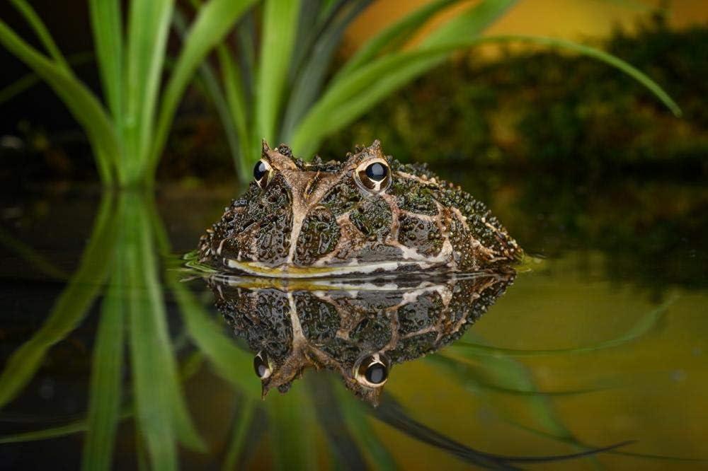 5D DIY diamante pintura bordado dibujo-rana ranas cornudas sudamericanas reflexión animal de agua-40 * 50 CM Regalo de costura Mosaico de diamantes completo Punto de cruz Decoración para el hogar