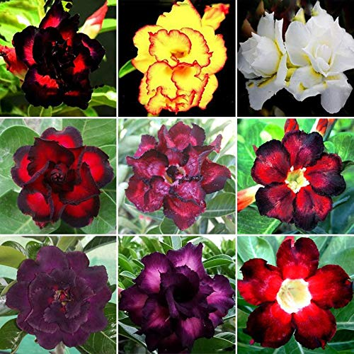 20 Mixed Color Desert Rose Seeds to Grow   20 Seeds   Adenium Obesum Seeds to...