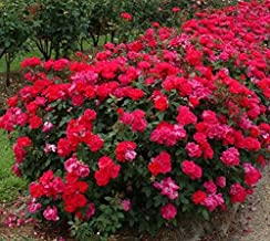 New Life Nursery & Garden- - Red Double Knockout Rose