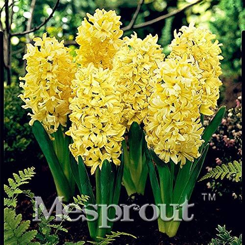 HONIC New Gartenhyazinthe Bonsai Günstige Hyacinth Bonsai, Hyazinthen Topf Bonsai, Bonsai Balkon Blume für Hausgarten-50PCS: 1