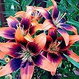Adolenb Seeds house- 20pcs Mélanger Lily Graines Graines De Bulbes De Lily, Jardinage Jardin Balcon Jardin Bonsaï Lily