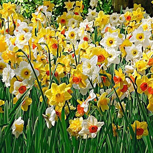 25x Narcissus | 25er Set Großblumige Narzissen | Osterglocken Zwiebeln | Blumenzwiebeln Narzissen | Ø 12-14cm