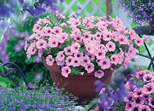 100 graines graines Petunia rares graines de pétunia Europe bleue bougies uniques fleurs bleu foncé graines en pot jardin de bonsaïs cour blanc